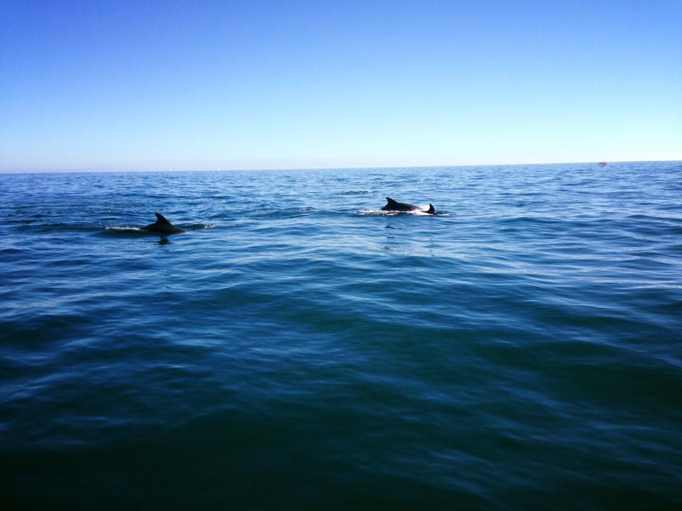 Dolphins from a charter yacht in Jersey